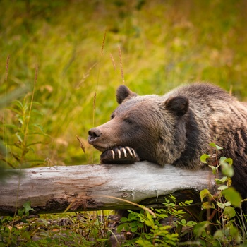 Grizzlybjørn i Banff Nationalpark