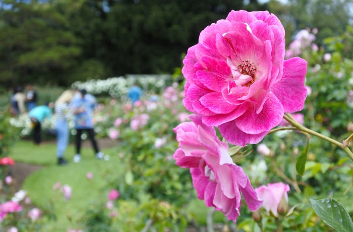 Parnell Rose Gardens, Auckland, New Zealand