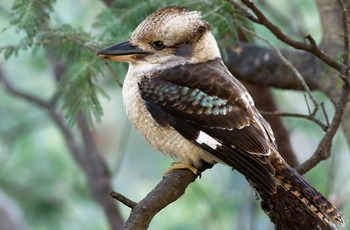 Hunter Valley, Kookaburra
