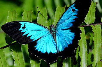 Olysses Blue Butterfly