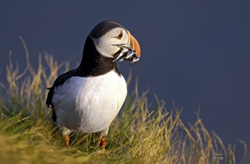 Lunde (Puffin)