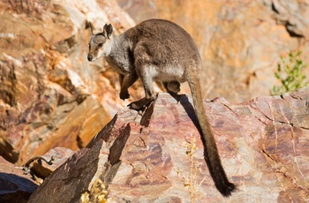 Wallaby i Nitmiluk National Park, Northern Territory i Australien